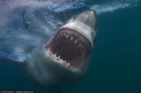 Американский фотограф сделал фото белых акул, от которых стынет кровь