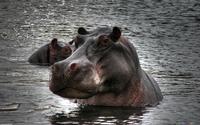 Интересные факты о самом опасном животном Африки, которых вы не знали