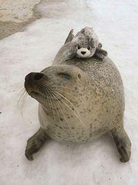 Тюленю подарили маленького игрушечного тюлененка и теперь он постоянного его обнимает