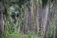 Как делают пальмовое масло и какой ценой?