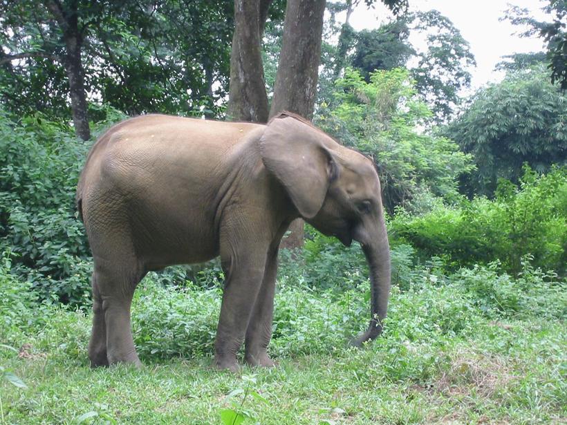 Такие разные: чем отличаются азиатские слоны от африканских
