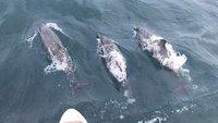 В Тринкомали много дельфинов