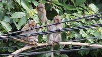 На Ко Чанге живут милые обезьянки