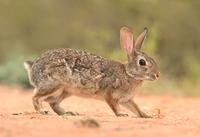 Флоридский кролик