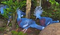 Венценосные голуби: где живут самые красивые их представители
