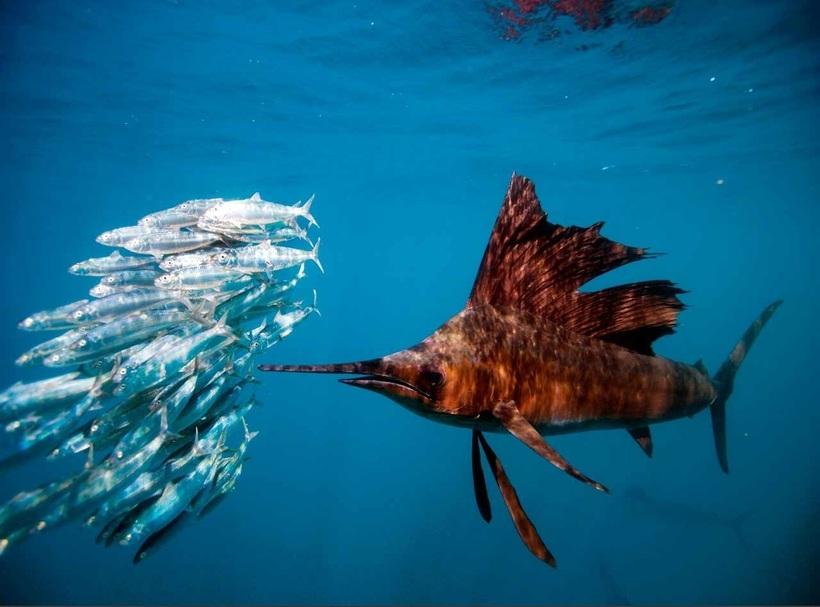 Парусник — самая быстрая рыба в Мировом океане