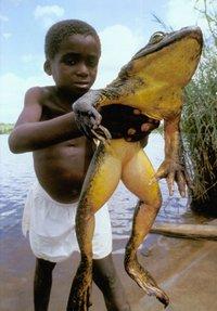 Голиаф-строитель: зачем самые большие лягушки на планете строят пруды