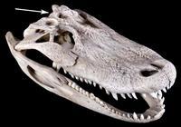 Зачем аллигаторам отверстия в черепе