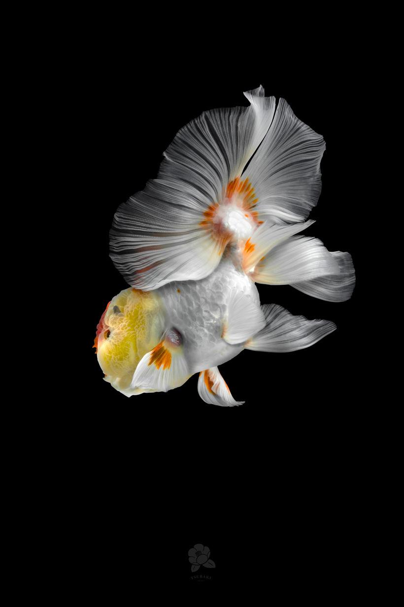 Тайваньский фотограф делает завораживающие портреты китайских золотых рыбок