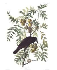 Невероятные иллюстрации из винтажной книги Джона Одюбона «Птицы Америки»